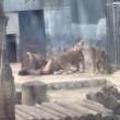 YOUTUBE Leoni sbranano uomo allo zoo VIDEO CHOC