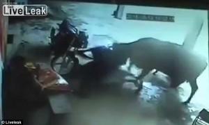 India, accoltellata in strada: interviene mucca6
