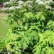 Panace gigante, pianta velenosa in Italia: può causare…
