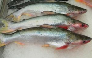 Guarda la versione ingrandita di Pesce falso: tonno, branzino, sogliola.. E' pangasio o perca