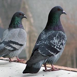 In Toscana si spara ai piccioni: 100mila da abbattere