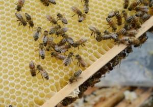 Cesena, Gilberto Amadori morto per attacco da sciame di api