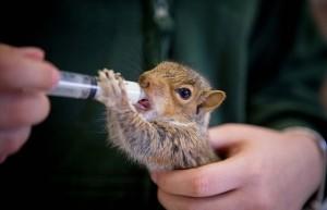 Guarda la versione ingrandita di Cuccioli scoiattolo orfani, allattati col biberon FOTO