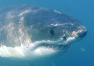 Santa Margherita Ligure, allarme squalo: era lungo 2,5 metri