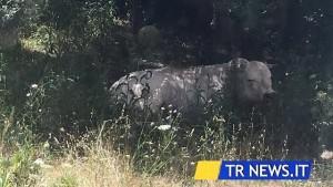Toro infuriato scappa dal macello a Lecce e semina il panico
