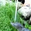 Alligatore fuori acqua2