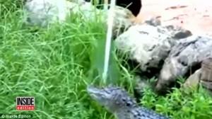 Guarda la versione ingrandita di Alligatore fuori acqua: dipendente Disney Orlando lo ributta dentro FOTO