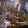 ustralia, vacche importate dal Vietnam prese a martellate 3