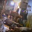 ustralia, vacche importate dal Vietnam prese a martellate 2