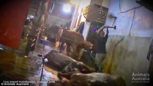 ustralia, vacche importate dal Vietnam prese a martellate 5