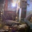 ustralia, vacche importate dal Vietnam prese a martellate 4