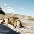 Cacciatori: posa con leone ucciso, ma altro felino