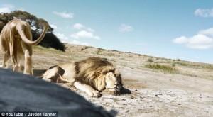 Guarda la versione ingrandita di YOUTUBE Cacciatori: posa con leone ucciso, ma altro felino…