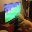 Cane guarda la partita alla tv...attaccato allo schermo6