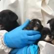 Coppia con 270 cani: casa piena di urina e pulci2