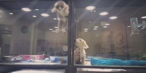 Guarda la versione ingrandita di Gatto scavalca barriera per andare dall'amico cane