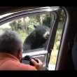 Orso apre porta auto, famiglia a bordo urla terrorizzata2