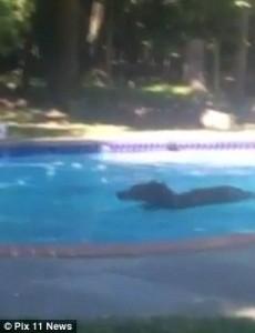 Orso in piscina per rinfrescarsi: ci resta per un quarto d'ora6