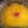 YOUTUBE Uovo in una tazza: così fanno nascere un pulcino 6