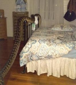 Video YouTube. Si sveglia e nel letto ha un pitone di 5 metri