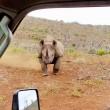 Rinoceronte nero non ama essere fotografato e punta l'auto