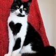 Zoe, la gatta con il cuore disegnato sul petto2