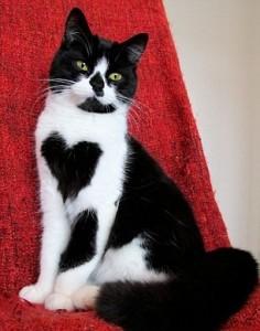 Zoe, la gatta con il cuore disegnato sul petto4