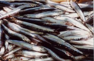 Sestri Levante capitale delle acciughe: pescate 10 tonnellate
