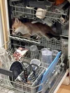 Volpe nascosta nella lavastoviglie