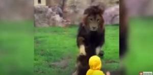 YOUTUBE Leone salta contro bimbo allo zoo ma...