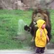 YOUTUBE Leone salta contro bimbo allo zoo ma...5