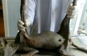"""""""Ho ucciso un chupacabra con un forcone"""": animale succhia-sangue"""