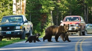 Grizzly uccide ciclista nel Montana (Usa)