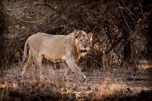 Leone mangia-uomini in India punito con lo zoo a vita