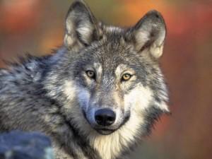 Canada, nel bosco si salva da un lupo grazie ad una mamma orsa