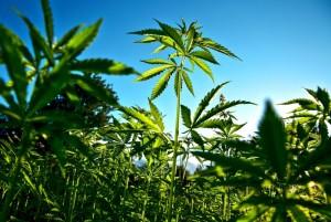 Guarda la versione ingrandita di Cannabis salverà Taranto: terreni Ilva liberati da diossina (Foto archivio Ansa)