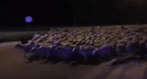 Più di mille pecore invadono cittadina: pastore si era addormentato