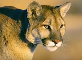 Puma attacca bimbo di 5 anni: mamma lotta e lo salva
