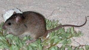 Clima: la prima specie estinta è un roditore