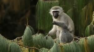 Una scimmia in Kenya