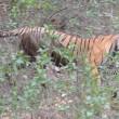 VIDEO YOUTUBE Tigre del Bengala contro leopardo: chi vince? 2