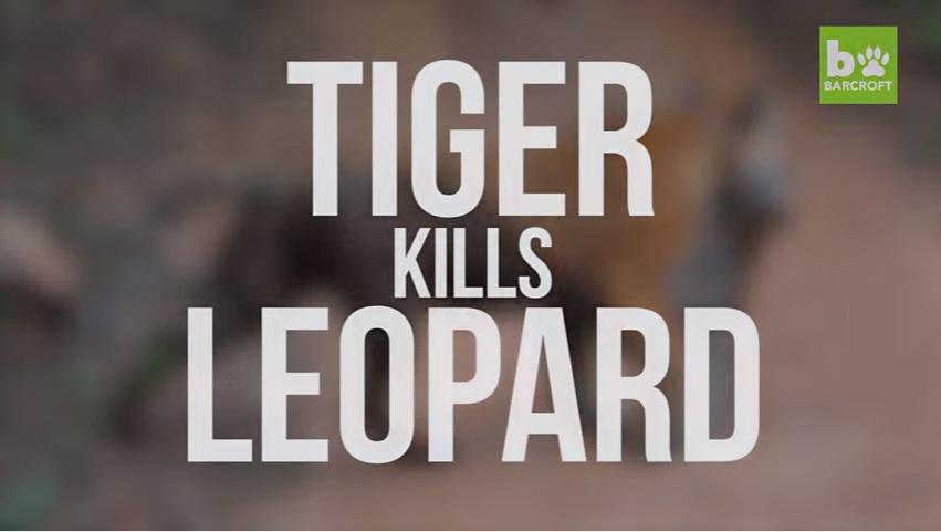 VIDEO YOUTUBE Tigre del Bengala contro leopardo: chi vince?