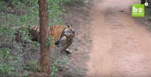 Guarda la versione ingrandita di VIDEO YOUTUBE Tigre del Bengala contro leopardo: chi vince?