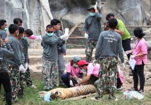 Guarda la versione ingrandita di Thailandia: cuccioli tigre in congelatore dei monaci (foto Ansa)