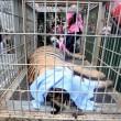 YOUTUBE Thailandia: cuccioli tigre in congelatore dei monaci2