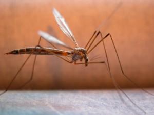 Bibione, invasione di zanzare: clienti fuggono dai ristoranti