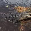 Alligatore si avvicina alla barca dei turisti in Florida 3
