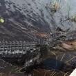 Alligatore si avvicina alla barca dei turisti in Florida