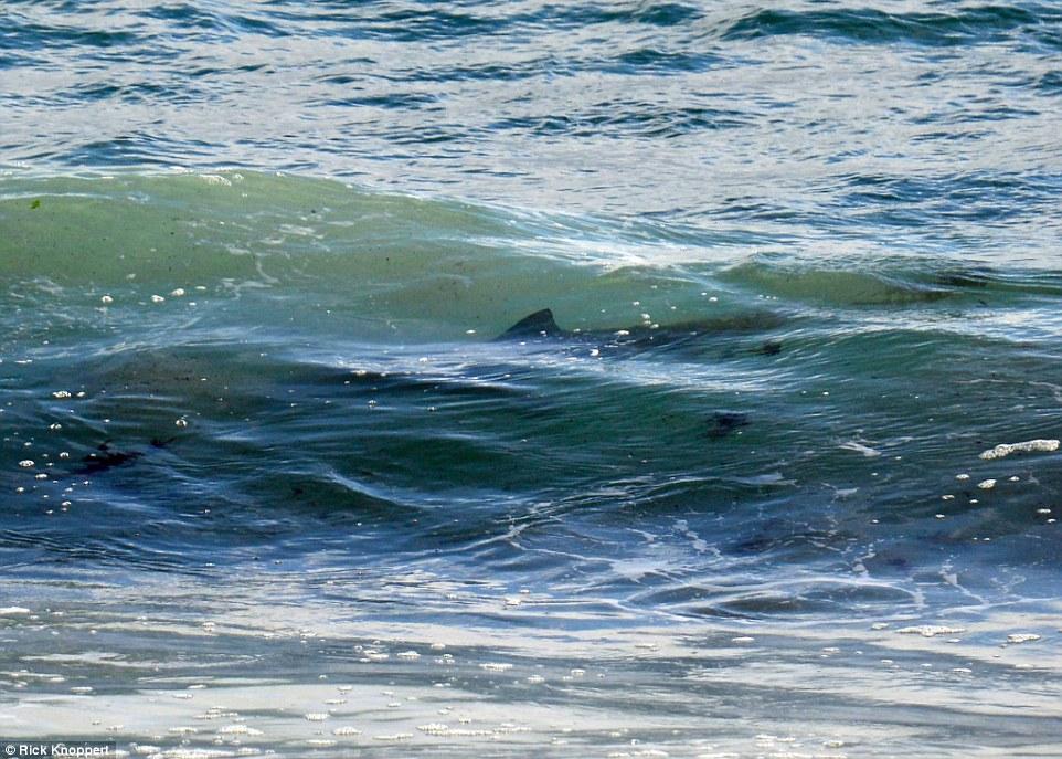 Australia, squalo a riva: surfisti escono di corsa dall'acqua FOTO2