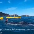 YOUTUBE Megattera intrappolata nella rete da pesca chiede aiuto a canoisti 6